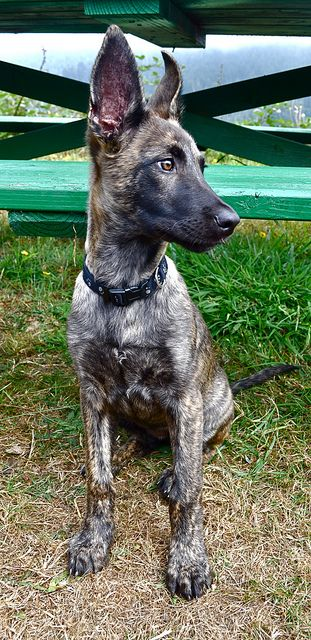 Awkward adolescent (the ears at least!) My sweet puppy Dutch Shepherd Dog, Lupe