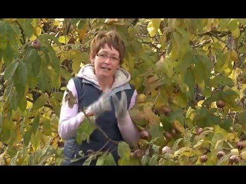 Naspolya (Mespilus germanica) - Kertbarátok - Kertészeti TV - műsor