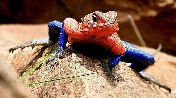 Spiderman lizard.: Flats Head, The Real, Comic Books, Spiderman, Spiders Man, National Parks, Mwanza Flats, Looks Alike, Animal