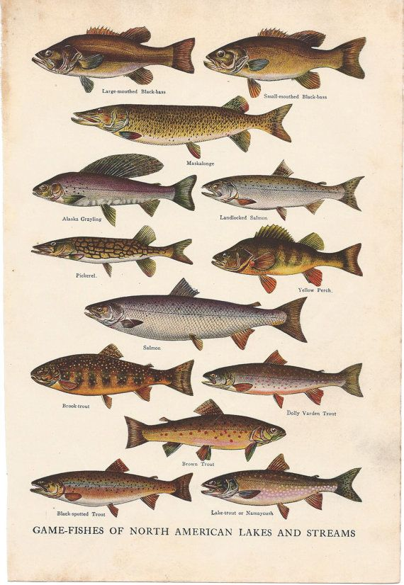 66 best images about freshwater fishing illustrations on for Freshwater fishing games