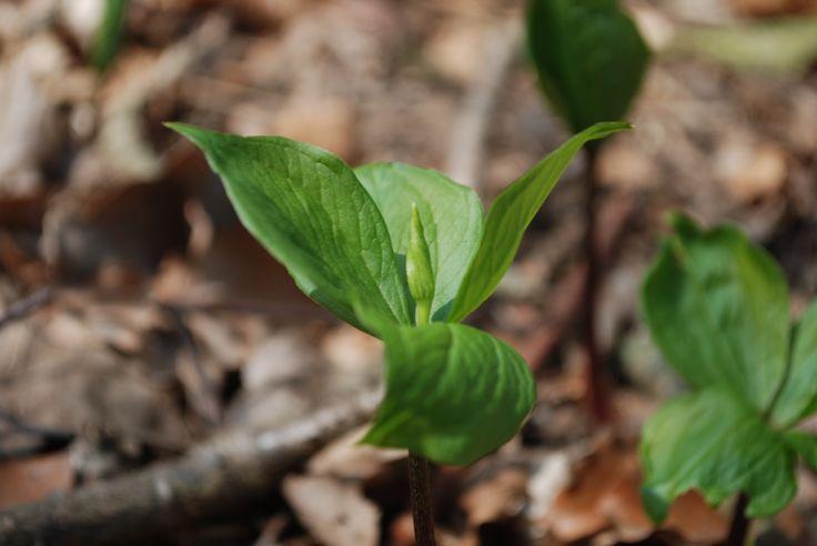 La parisette quatre feuilles est une plante herbac e for Plante 9 feuilles