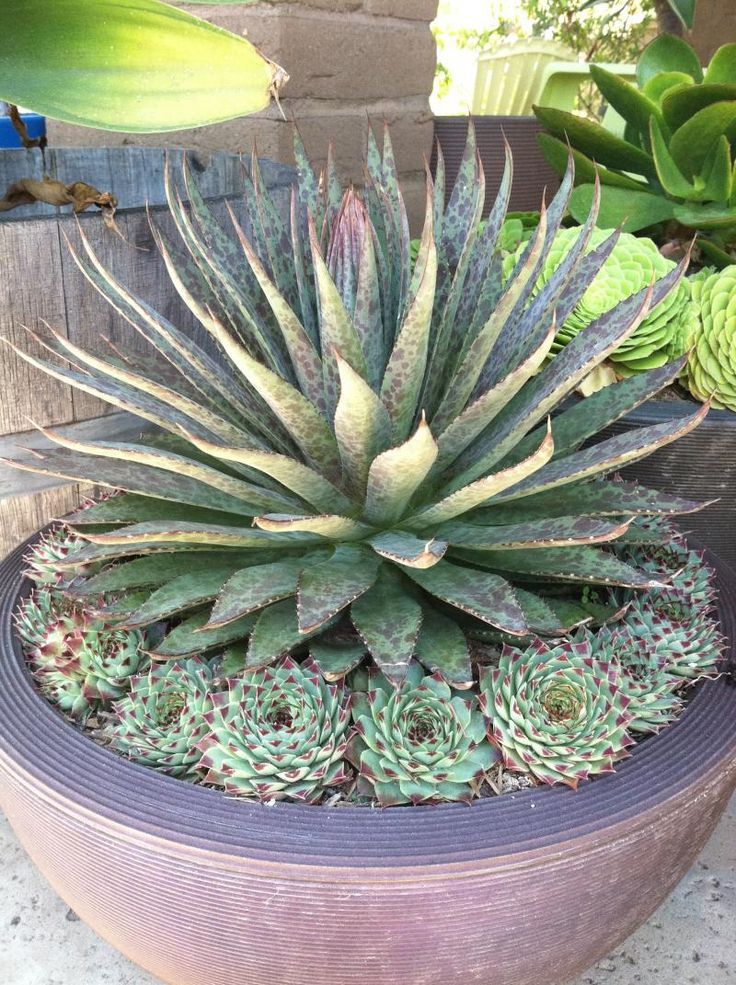 Agave surrounded by Echeveria - a good way to bring the small plants within view, and to cover the bare dirt around the agave.