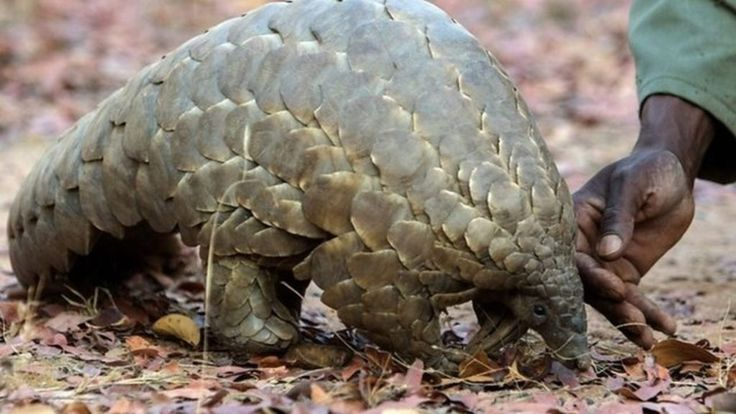 Thai customs officials have seized their biggest ever haul of smuggled pangolin scales, after a crackdown on illegal wildlife trade.