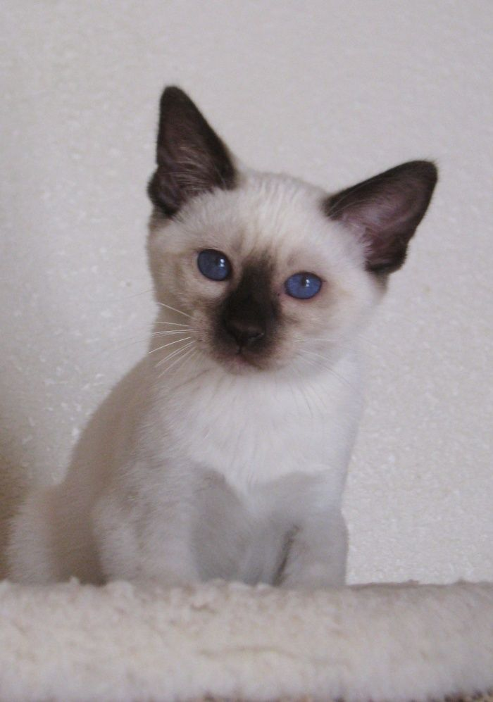 chinki siamese Google Search creatures Pinterest