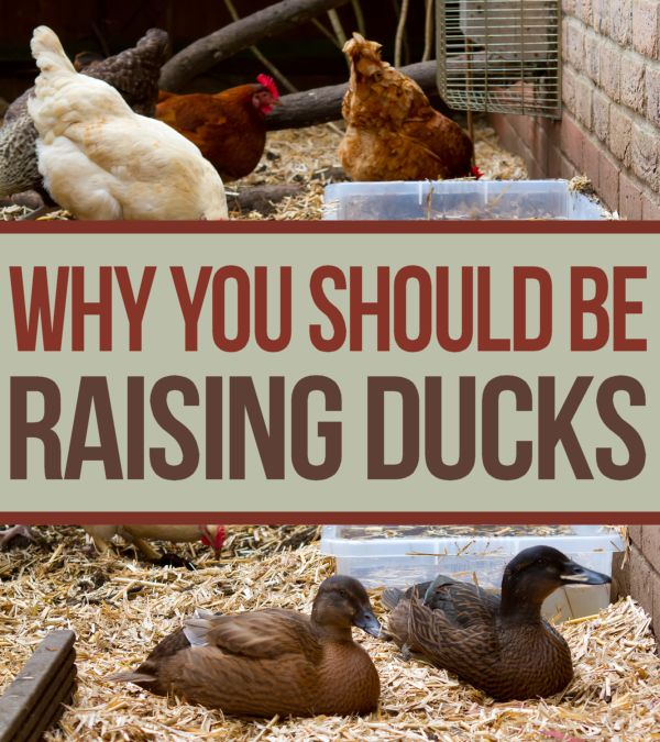 Why you should be #raising  #ducks instead of #chickens.