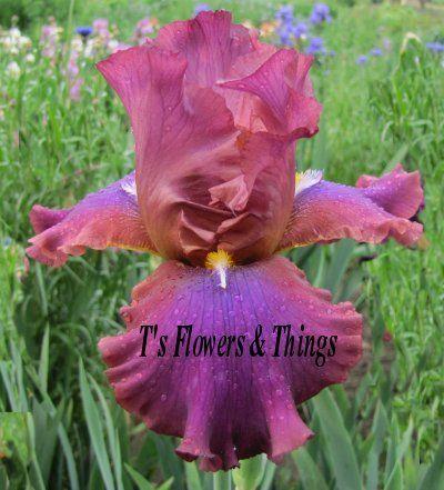 New   Purple Bearded Iris Night Light
