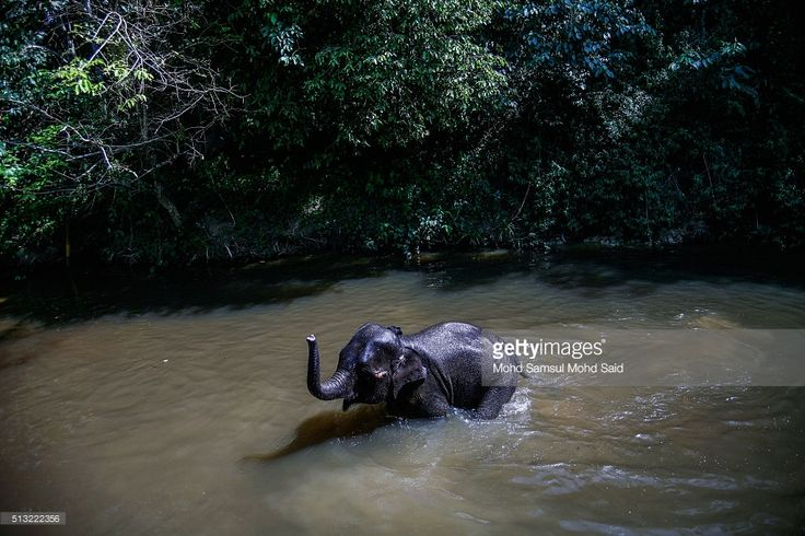 An Elephant is seen swimming in a river near the National Elephant Conservation Centre on March 1, 2016 in Kuala Gandah, Malaysia. Almost 1,200 wild Asian Elephants, also known as Elephus Maximus, are left in Malaysia and this is the only conservation centre set up to relocate these displaced pachyderms. The elephants here have been rescued from all over Peninsula Malaysia, providing them a safe sanctuary in the wild, according to World Wildlife Foundation, the increasing human population…