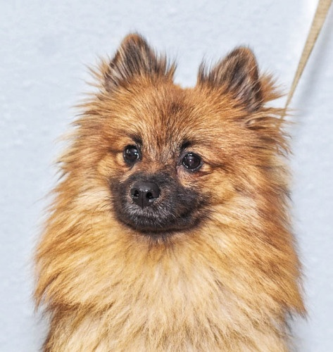 pomeranian rescue oregon teddy pom oregon dog rescue i pomeranian s 9339
