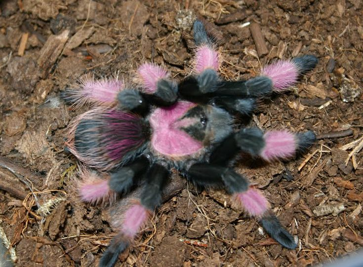 No!!!!!!! Just No!!!!! Not Pretty or Cuddly!!!! No, Siree!!!! Yukky Pooey!!!!!!! :(  x  Uncle Tarantula: Mexican Pink Beauty
