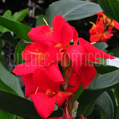 image de Canna South Pacific Scarlet
