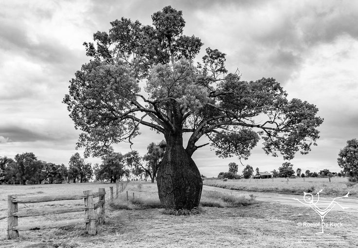 Baobab tree, Blackwater, Queensland, Australia #vaas8790 #blackwater #sevendayblacknwhitechallenge #thisisqueensland #queensland #australia_shotz #australiaphotography #travelphotography