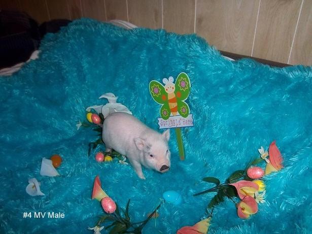 Tea Cup Pot Belly Pigs - so freaking cute!Teacups Pigs 3