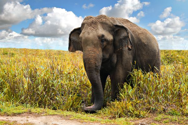 elefante-asiatico-2.jpg (JPEG Imagen, 600 × 400 píxeles)