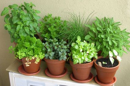 basil, parsley, chives, sage, English peppermint, Moroccan peppermint and lemon balm