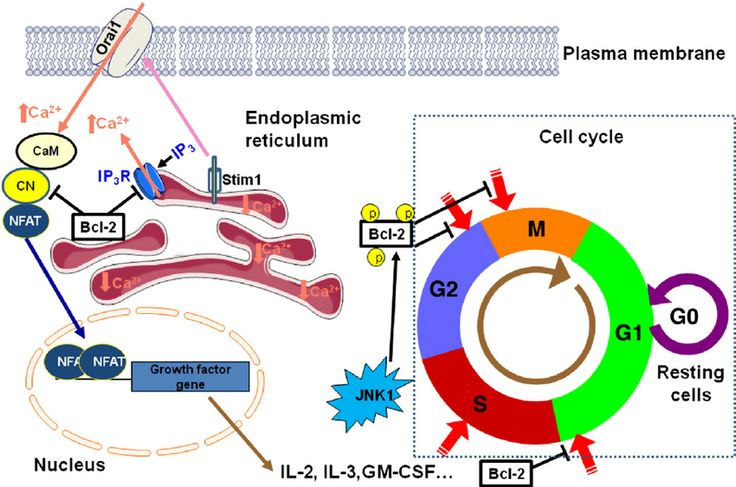 Image Result For Calcium Spikes And Cell Cycle