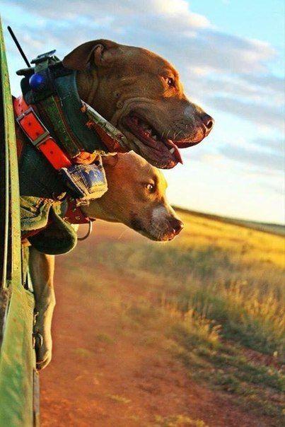 Hog hunting dog in Australia. Pit Bulls.
