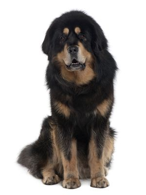 Tibetan Mastiff  http://clippersnshears.com/akc-breeds-working-group/