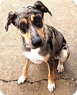 #TEXAS ~  Meet Hardy a Catahoula / Australian Sheperd Dog for Adoption w/ ADORE in #Houston  www.adorehouston.org - info@adorehouston.org