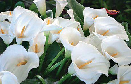 ficha-tecnica-da-flor-copo-de-leite-6.jpg (460×295)