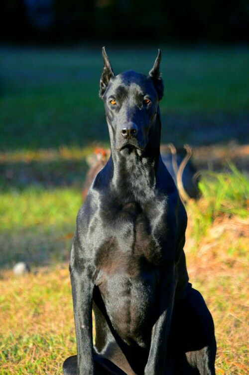 17 Best images about DoberDane, NYX (Goddess of Night) my ...