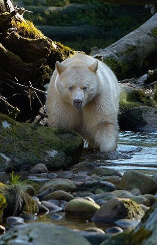 """What you are looking at is not an albino, or polar bear. This is the rare Kermode Bear, also known as a """"spirit bear."""" Spirit bears are white subspecies of black bears and are very prominent in the mythology of the Canadian First Nations and American Indians of the area. The white appearance is due to a recessive allele common in the population, allowing for 1/10th of the population to feature this white coat."""