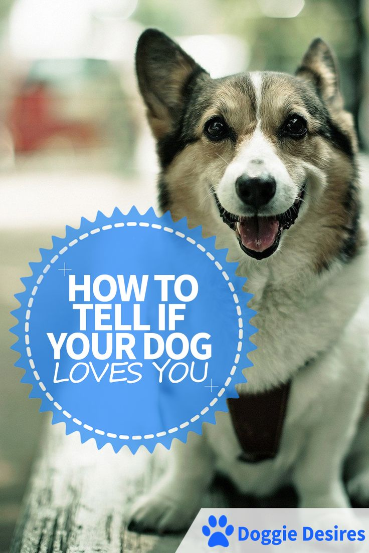How To Tell If Your Dog Loves You >> http://doggiedesires.com/how-to-tell-if-your-dog-loves-you/