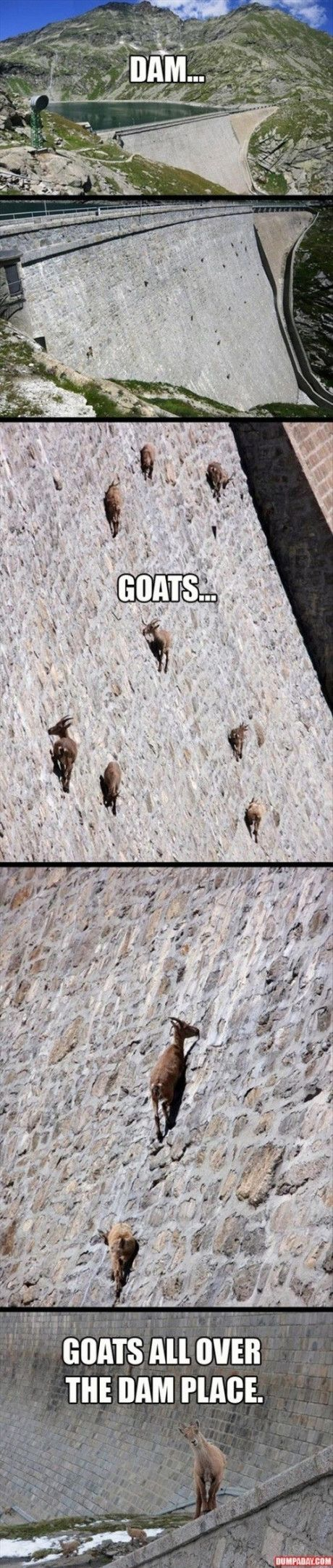 The animals in the photographs are Alpine Ibex, a wild goat. The structure shown in the images is the Cingino Dam in Italy.