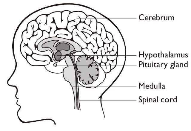 The human brain. | Fun science, Neurological system ...