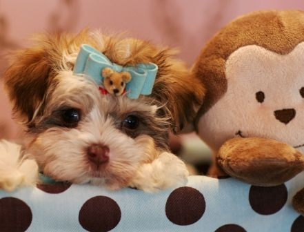 My morkie puppy ...Kaymus     Www.monikajensenproductions.com