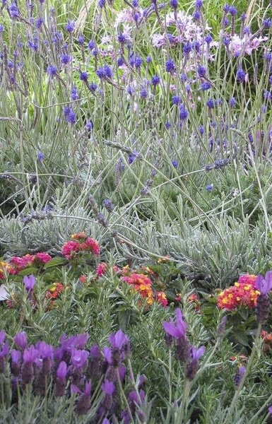 """Lavenders to try in IN.  Plant in pot so it can stay dried out. Snyder says the following are """"tough-as-nails"""" varieties of English lavender: Betty's Blue, Premier, Melissa, Royal Velvet and Blue Cushion. Coconut ice and blue dwarf are varieties with which she hasn't had as much luck."""