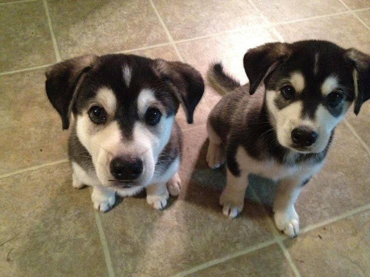 Omg these are adorable. Husky-Lab mixed pups - looks like Levi! Huskador-able!