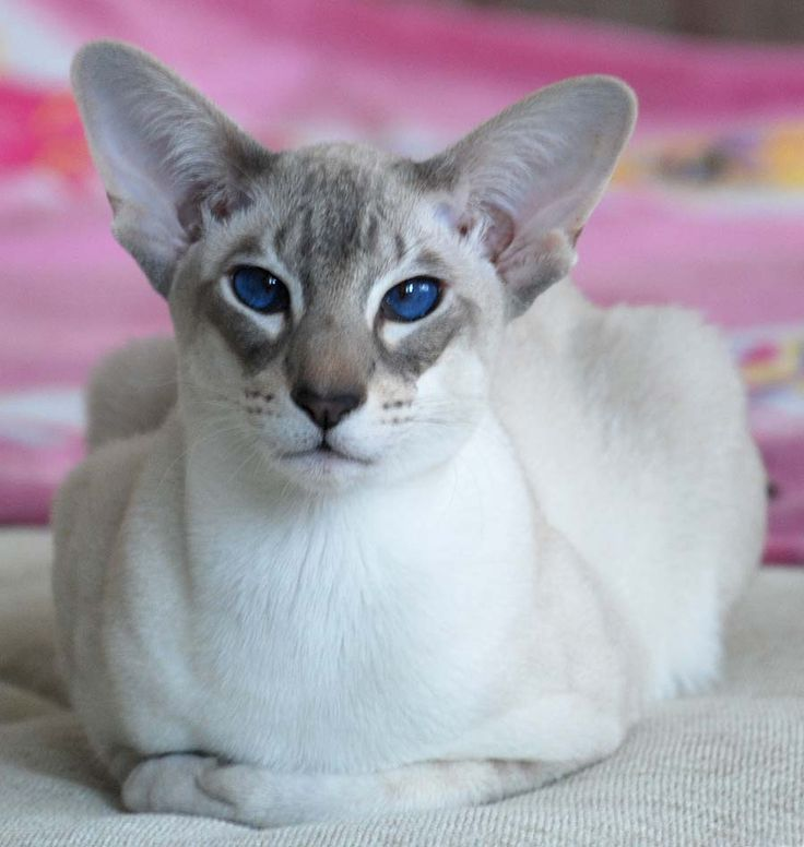 Oriental - Orientals are like the Siamese in body type and personality but do not share the characteristic Siamese coloring (colored points on the head, tail, and legs).  They are generally solid or tabby-patterned in a variety of colors, both shorthair and longhair.