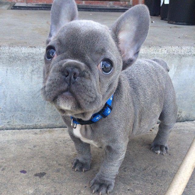 https://instagram.com/p/0kvPQgnfSX/?taken-by=bluefurbullies_richard #FrenchBulldog #Frenchies