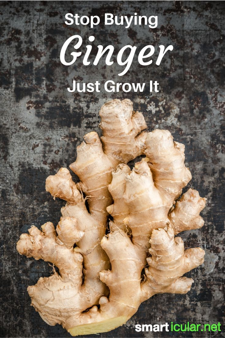 Ginger is one of the healthiest foods on our planet. Instead of buying expensive organic ginger, you can grow your own endless supply of ginger indoors.