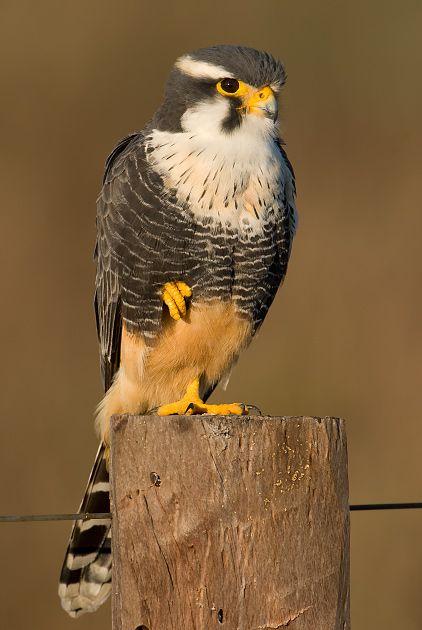 Foto falcão-de-coleira (Falco femoralis) por OctavioSalles | Wiki Aves - A Enciclopédia das Aves do Brasil