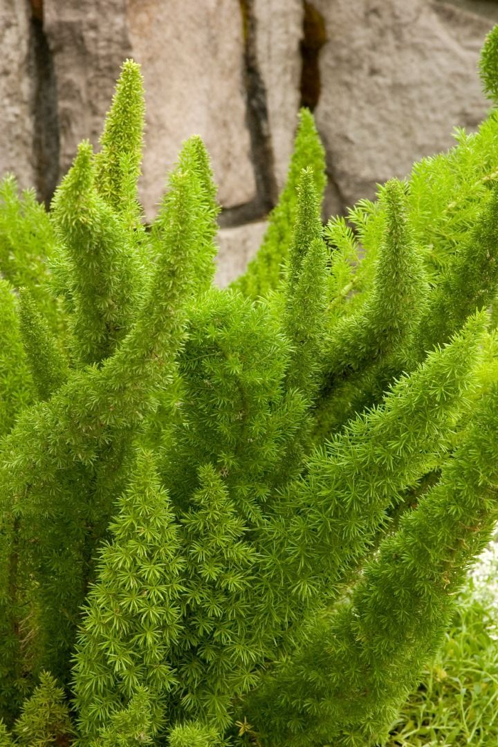 ~Foxtail Fern (Asparagus densiflorus) 'Myers'~  Hardiness Zones 9-11 where it can be used in border plantings.  Zone 8 up containers which can be relocated during winter...great texture | plantsfordallas.com