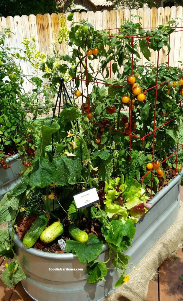 This is a great DIY for starting a container veggie garden.  Explains everything!  Metal trough used as container for vegetable garden -  cucumbers, tomatoes, herbs and more.  Foodie Gardener blog