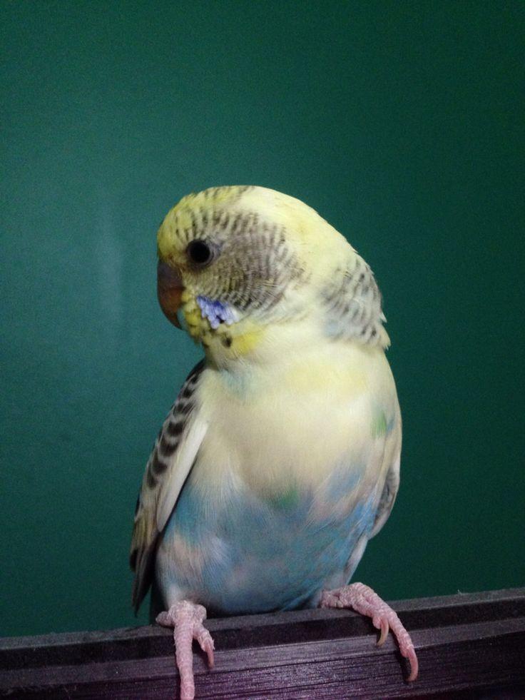 Half yellow, half blue budgie