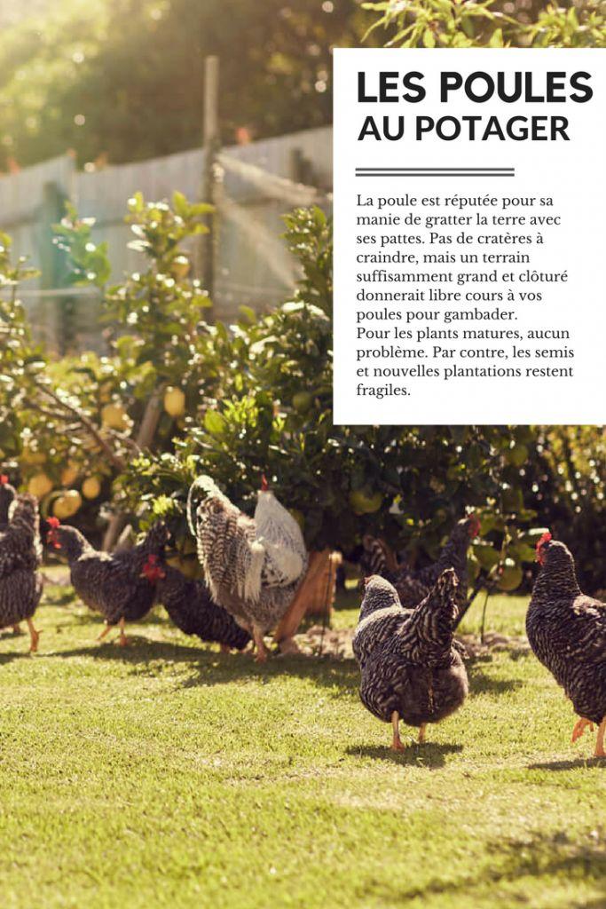 poule-potager-permaculture