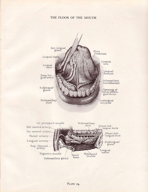Vintage dental anatomy print human mouth teeth jaw for Floor of mouth anatomy