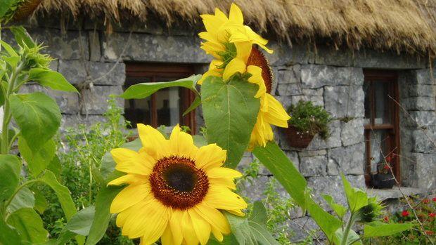 Slunečnice pěstovaly ve venkovských zahrádkách už naše babičky Foto: Thinkstock