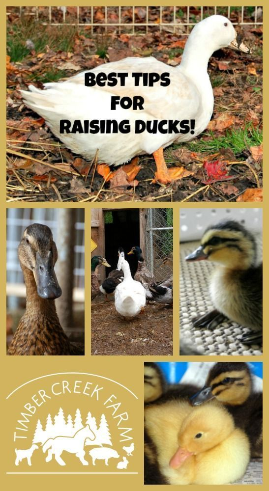 raising ducks including the basics of feed, water need (do they need a pool?) food, foraging and fencing to protect from predators. Are ducks the right choice for you?
