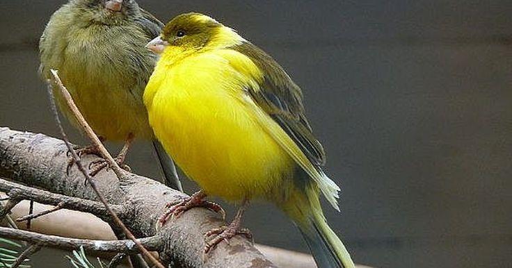 Cómo construir una jaula doble para criar canarios. Normalmente las jaulas para aves son muy caras, por lo que hacerla tú mismo no solo te permitirá ahorrar dinero, sino que además, te brindará un sentido de satisfacción que no tiene precio.