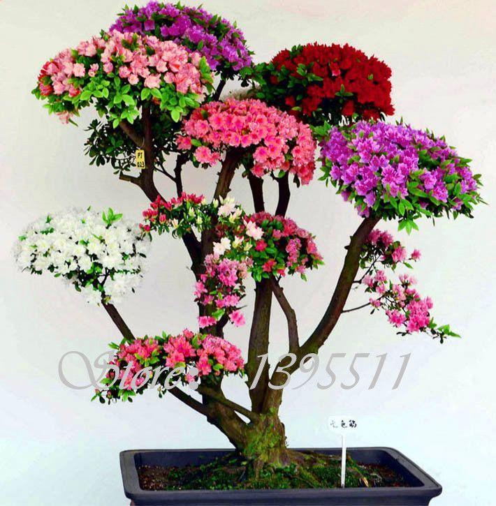 100 Pcs/bag Rare Bonsai 12 Varieties Azalea Seeds DIY Home & Garden Plants Looks Like Sakura Japanese Cherry Blooms Flower Seeds