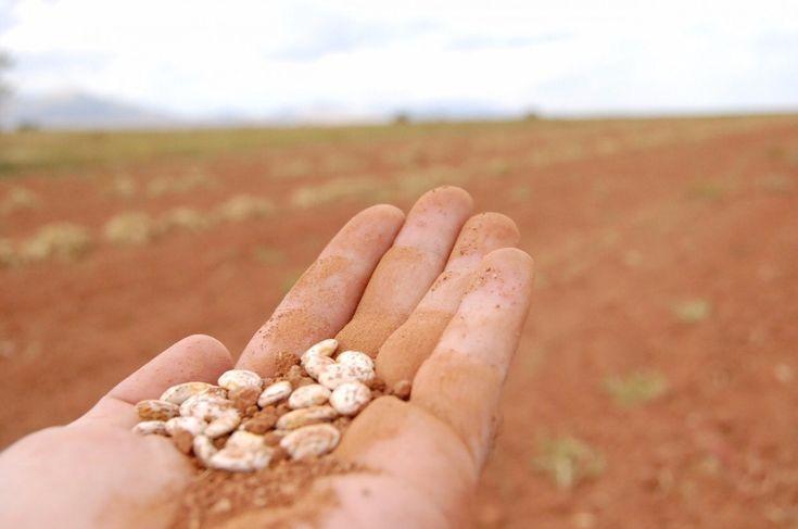 Intervendrá gobierno de Chihuahua a favor de las y los productores de frijol   El Puntero