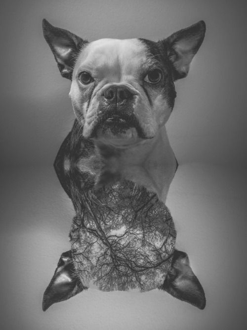 .Nora  #portrait #photography #bulldog #minibulldog #inside #dog #black&white #mexicanphotographer #irvingcreaphotos #dogsessions #yyc #calgary