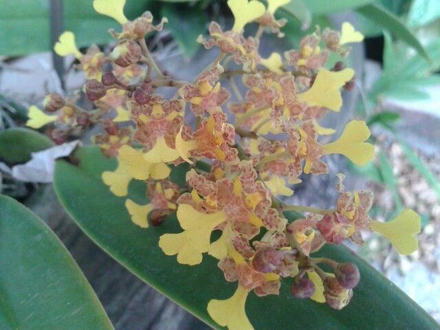 Preciosa orquidea
