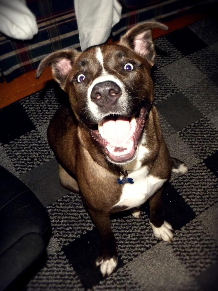 Dexter My Husky Pitbull Blue Heeler Mix Pets Dogs