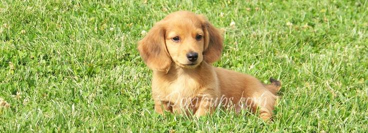 Dachshund Puppies - Long Haired Miniature Dachshund Breeders