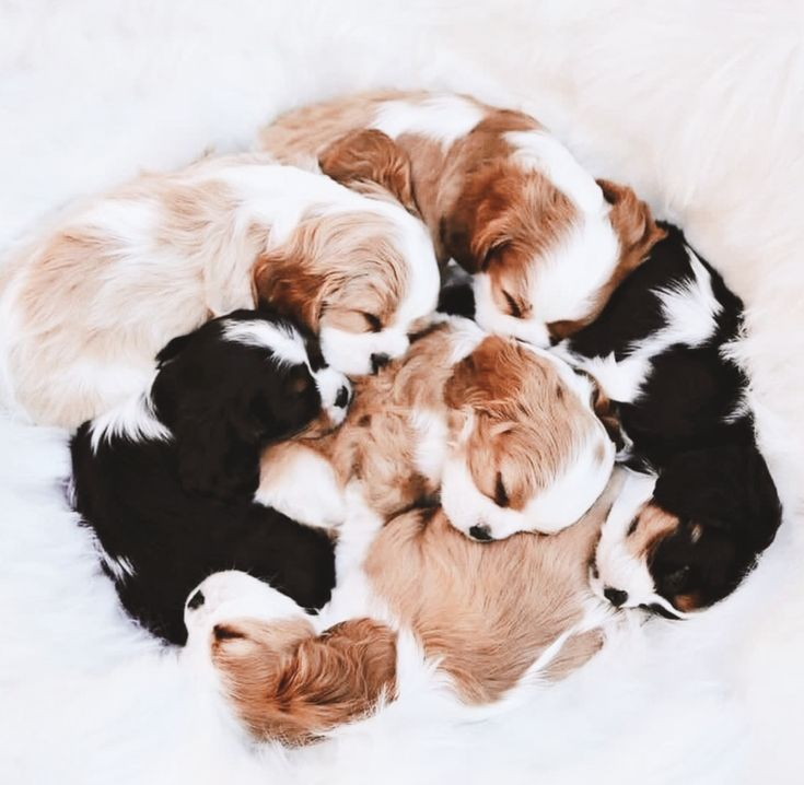 a bundle of spaniel puppies